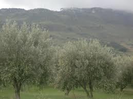 バランカ畑